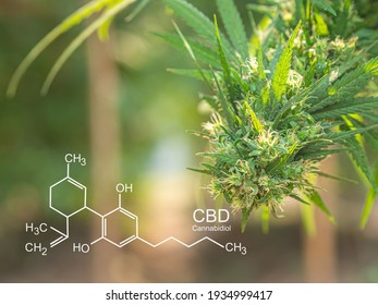 Cannabis plants growing at outdoor farms. Photo with the formula CBD (cannabidiol). Close-up. Concept of cannabis plantation for medical.