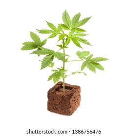 Cannabis sativa automatic autoflowering young plant isolated on white background. Medicine, health and gardening concept.