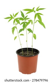 Cannabis sativa l plant on a white background
