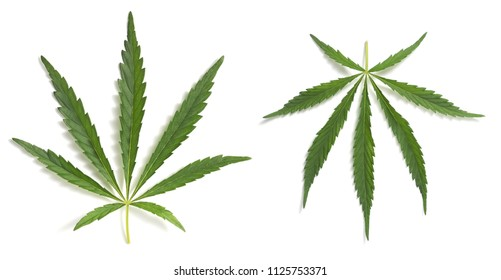 Cannabis Sativa leaves isolated on white background