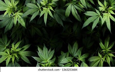 Cannabis Sativa Leaves On Dark - Medical Legal Marijuana