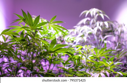 Cannabis Sativa Plants on Purple Background