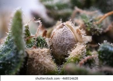 Cannabis seed forming in a bud