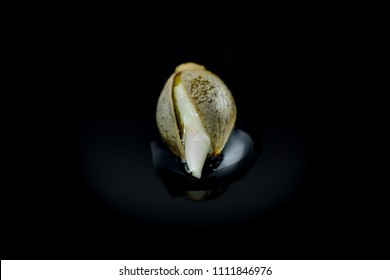 Cannabis seed is opening - germintaion of cannabis seeds, sprouting.