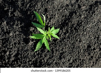 Cannabis seedling, cultivated by hemp farmers to produce different types of CBD products. Low THC technical cultivar with drug value