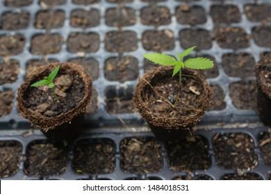 Cannabis seedlings in pots in the nursery. Cannabis.