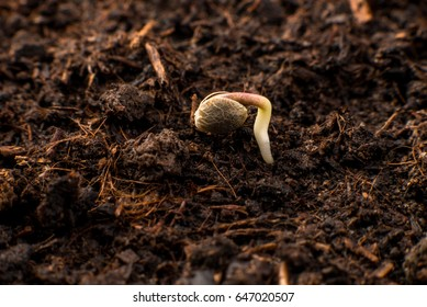 Cannabis seeds on white background, germination and cultivation of plants