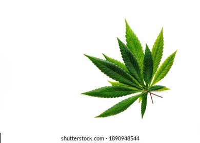 Cannabis is a standoff between a drug and a medicine. Green background of leaves.Close-up young hemp. Medicinal indica with CBD.Green cannabis leaves isolated on white background.