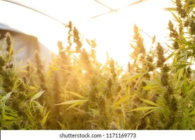 Cannabis at Sunset