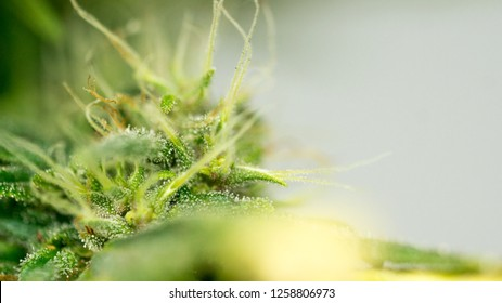 Cannabis Super Silver Haze Marijuana Weed Bud Plant