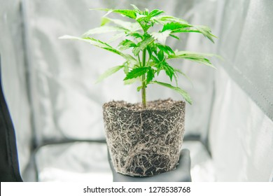 Cannabis transplantation. Professional cannabis cultivation grow. Roots In the hands of the grower, the beautiful roots of the marijuana plant. Macro healthy cannabis roots. CBD in Marijuana.