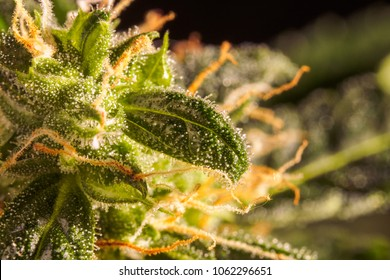 Cannabis trichomes close-up photo of plant marijuana bud health. Macro photos of marijuana cones with leaves covered with trichomes.
