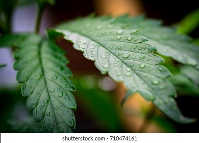 Cannabis Water Droplets