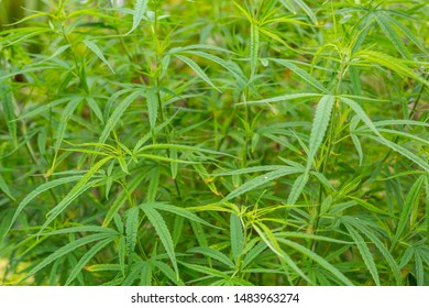 Cannabis,The background of the marijuana tree is a shrub for design.