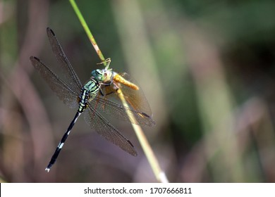 a cannibal green dragonfly is eating another dragonfly one afternoon