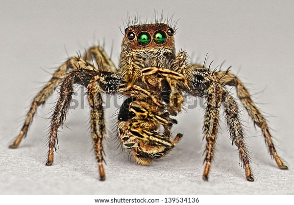 cannibal spider