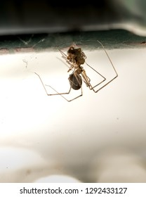 Cannibal Spider Wrap With Silk Webs and Eating Other Spider. Species is Daddy Long-Legs or Pholcids