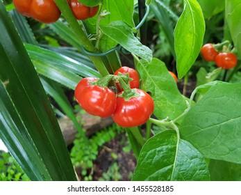 Cannibal tomato (Solanum viride), also called poro poro or boro-dina, is a species of the nightshade. Solanaceae family.
