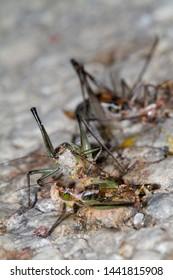 Cannibalism of insects: grasshoppers eating each other during gradation in Lesvos, Greece.