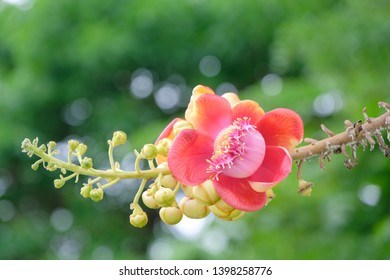 Cannonball flower with bokeh background