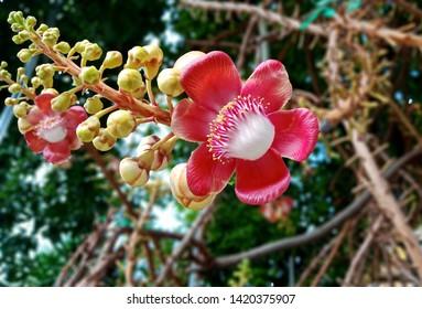 Cannonball flower of cannonball tree in a park