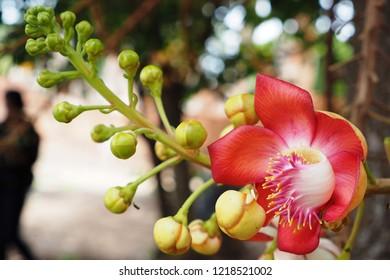 Cannonball flower of cannonball tree, Sal tree or Sala tree