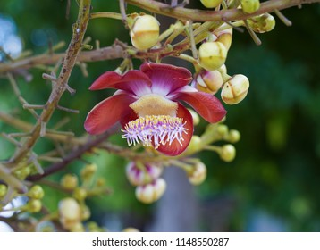 Cannonball flower of Cannonball Tree or Sal Tree in the temple Phitsanulok Province,Thailand.