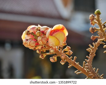 Cannonball flower of cannonball tree in temple