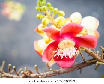 Cannonball flowers , Cannonball Tree, Sala tree, Shorea robusta flowers.