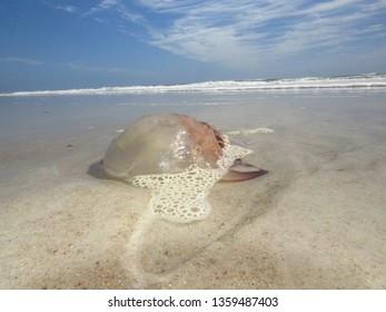 Imágenes, fotos de stock y vectores sobre Jellyfish On Shore