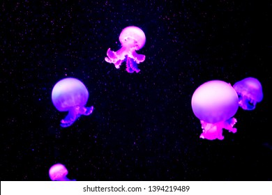 The cannonball jellyfish (Stomolophus meleagris), also known as the cabbagehead jellyfish . Its common name derives from its similarity to a cannonball in shape and size.