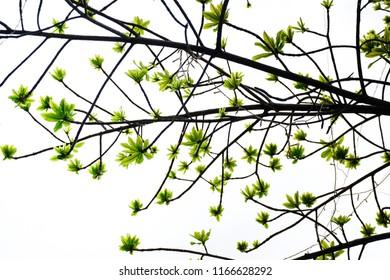 Cannonball Leaf On Tree,nature Background .Cannonball Green leaf with clear sky.Cannonball Green leaf.