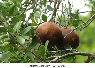 Cannonball mangrove or cedar mangrove (Xylocarpus granatum) fruit in mangroves forest in Malaysia. (Selective focusing)