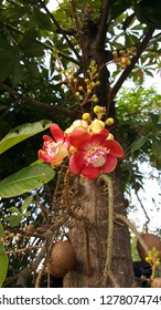 Cannonball or Shorea robusta Roxb, Sala tree wonderful red flowers leaf and branch growth outdoor.