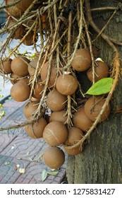 Cannonball tree bears fruits