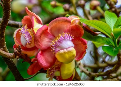 Cannonball tree with beautiful blossom at the stem