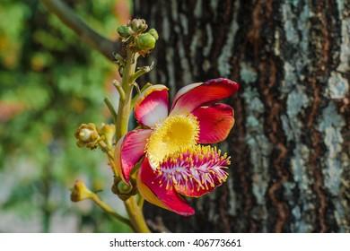 Cannonball tree (Couroupita guianensis) flower.