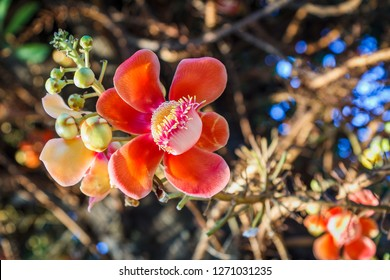 Cannonball Tree flower with blurred background, Couroupita guianensis tree, Sal tree