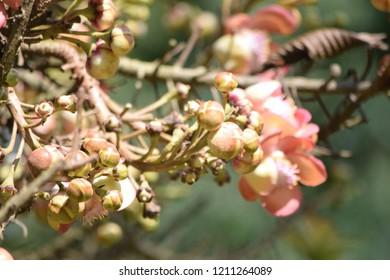 Cannonball Tree Flower (Sal Flower)