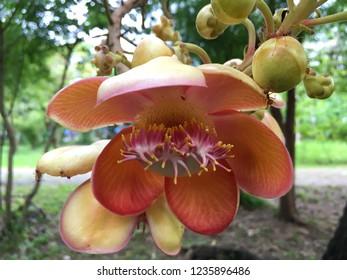 Cannonball tree flower (Sal tree, Sal of India)