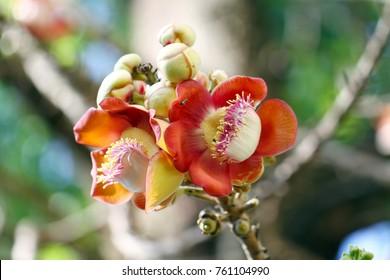 Cannonball tree flowers, sala tree, shorea robusta