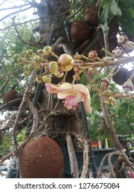 Cannonball tree fruit and flower