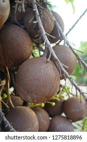 Cannonball tree fruits