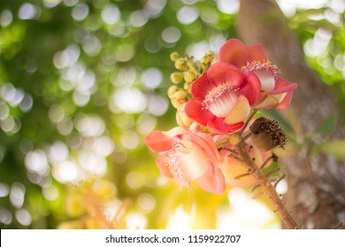 The cannonball tree is a medium to large tree. Pink or yellow flowers The inside is pink. Very fragrant. The top is a shining leaf with the sun rising into the fair and beautiful bokeh.