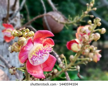 Cannonball tree or Sal of India. This tree provides shade with a single leaf alternately. Flowers are yellow or red.