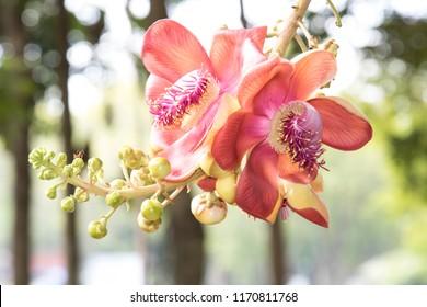 Cannonball Tree, Sala tree, Shorea robusta flowers.