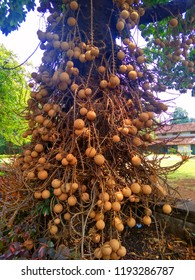 cannonball tree in town home