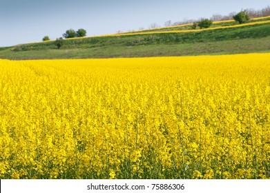 Deer canola field yellow flower crop stock photo edit now a canola crop in full spring flower mightylinksfo