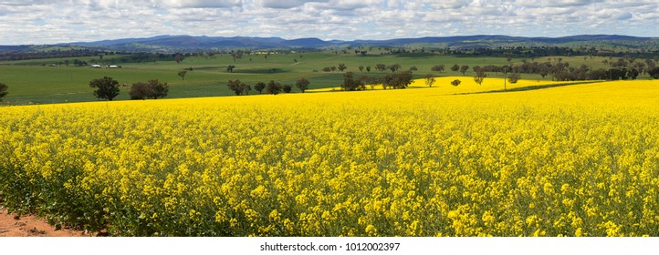 Canola at Ewgoura, Village situated in Central West N.S.W. Australia, rich agriculture land that grows huge crops of Canola and wheat.