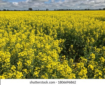 Canola farm in Forbes NSW